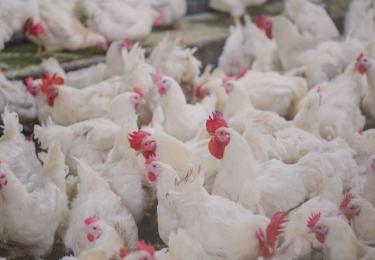 Afschaffing tegenonderzoek bij fokpluimvee door FAVV onwettelijk