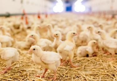 Alle supermarkten in Nederland gaan uiterlijk eind 2023 over op de verkoop van kip met minimaal één Beter Leven-ster