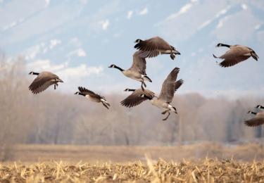 Bijkomende besmettingen bij wilde vogels