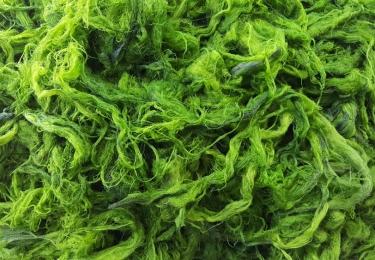 Binnenkort algen in pluimveevoeder?