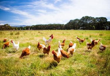 Biologische gehouden pluimvee heeft opmerkelijk hogere stikstof- en fosforuitstoot
