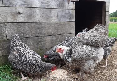 Derde besmetting met HPAI H5N8 door aangekochte besmette dieren bij vogelhandelaar uit Menen