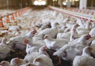 Eén stal met 24.000 kippen is niet rendabel