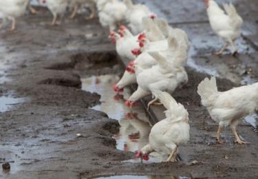 Eerste laserresultaten hoopvol in strijd tegen vogelgriep