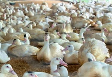 Frankrijk denkt na om in de toekomst te vaccineren tegen vogelgriep