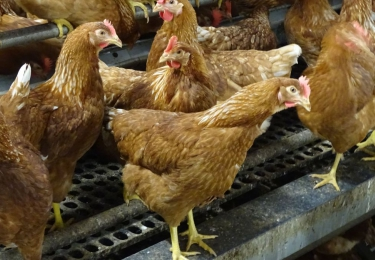 H3N1-virus verstevigt grip op pluimveesector