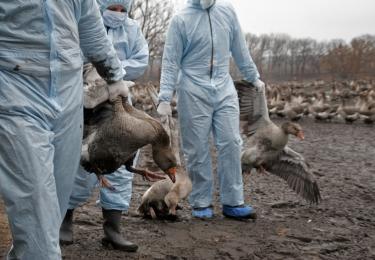 H5N8-vogelgriep nadert Belgische grens