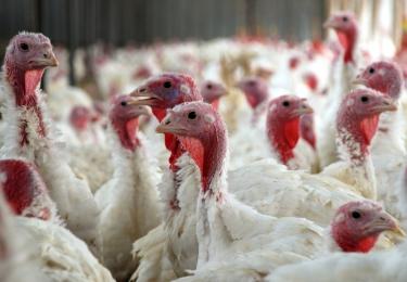 Hoogpathogene vogelgriep treft Polen
