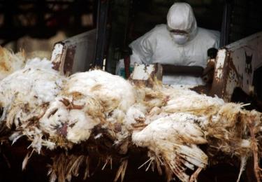 Na België stemt ook Nederland toe voor ruiming én vergoeding bij H3N1-besmetting