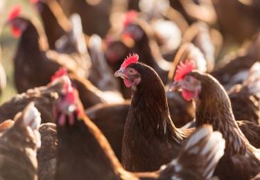 Opnieuw vogelgriepuitbraak in Nederland, ditmaal op leghennenbedrijf in Sint-Oedenrode