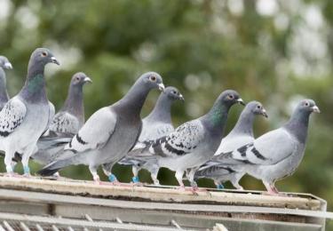 Paramyxovirose ontdekt bij duivenhouder in Sint-Lambrechts-Woluwe