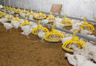 'Sommige pluimveehouders zien de ernst van de situatie niet in'