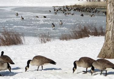 Tot vier keer meer risico op vogelgriep in winterperiode